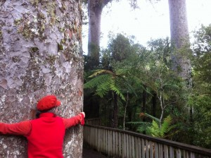 Hugging a 600 year old kauri tree