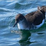 bullers-shearwater