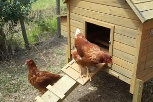 chickens-600x400