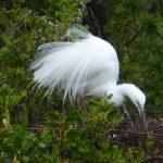 Kotuku - the White Heron