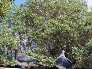 Kereru - wood pigeons