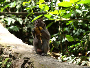 Bali Sacred Monkeys