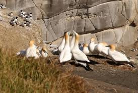 gannets doing their thing